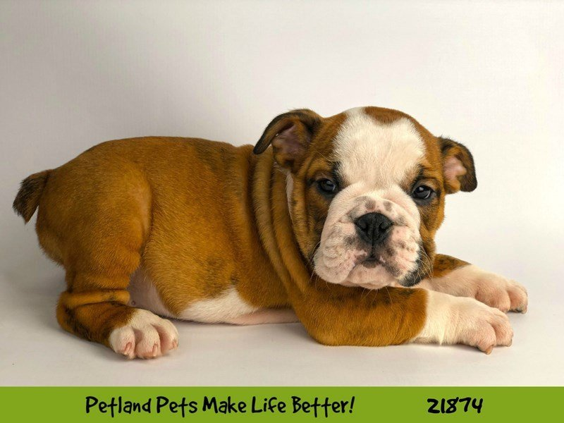 English Bulldog-DOG-Male-Red/Wht-2298259-Petland Naperville