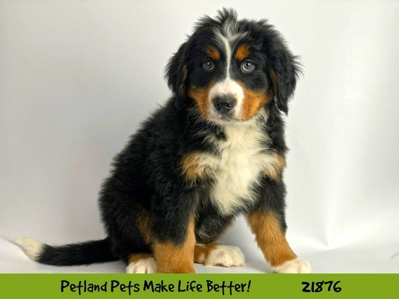 Bernese Mountain Dog-Male-Blk Tri-2298542-Petland Naperville
