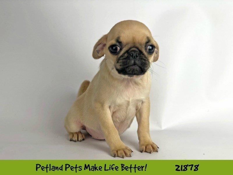 Pug-DOG-Male-Fawn-2298564-Petland Naperville
