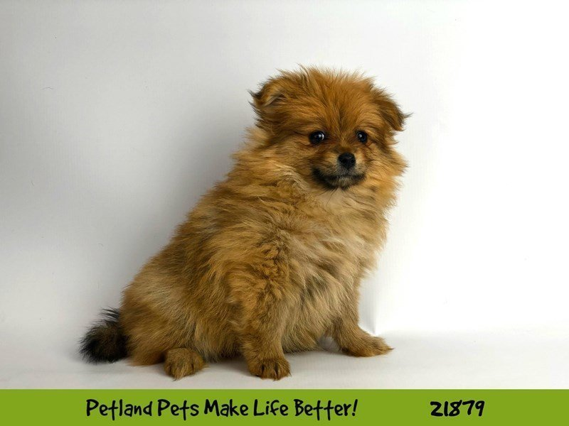 Pomeranian-DOG-Female-Red-2298569-Petland Naperville