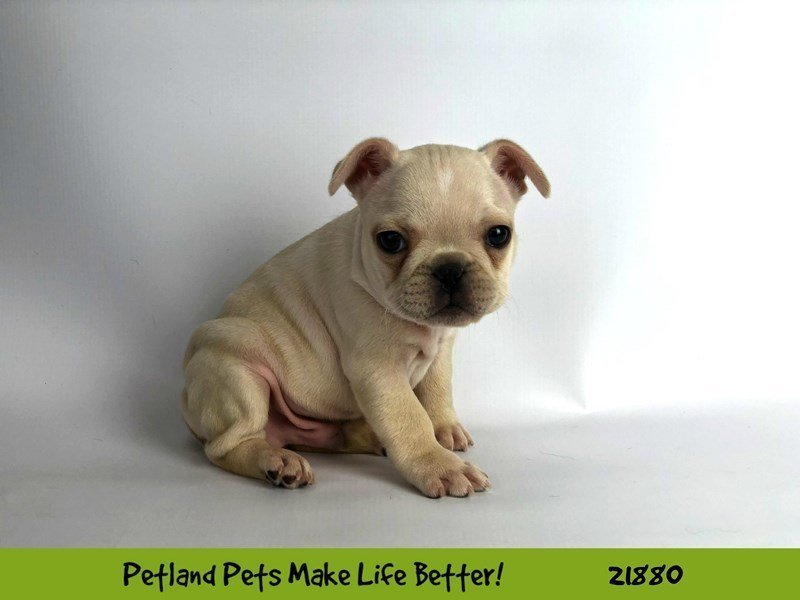 French Bulldog-DOG-Male-Cream-2298577-Petland Naperville