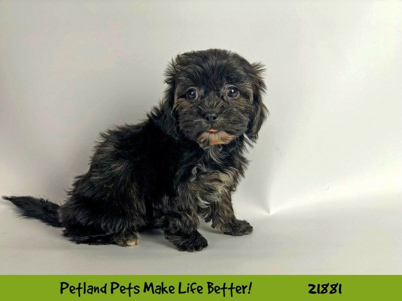 Shorkie-Female-Black-2298586-Petland Naperville