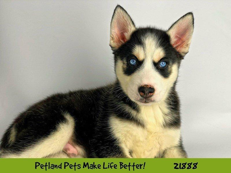 Siberian Husky-Male-Blk/Wht-2304109-Petland Naperville