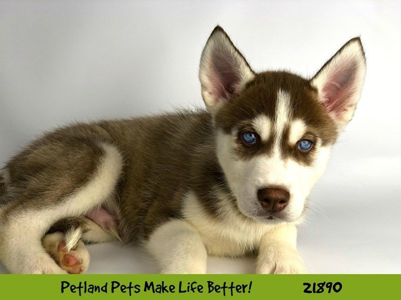 Siberian Husky-DOG-Male-Red/Wht-2304160-Petland Naperville