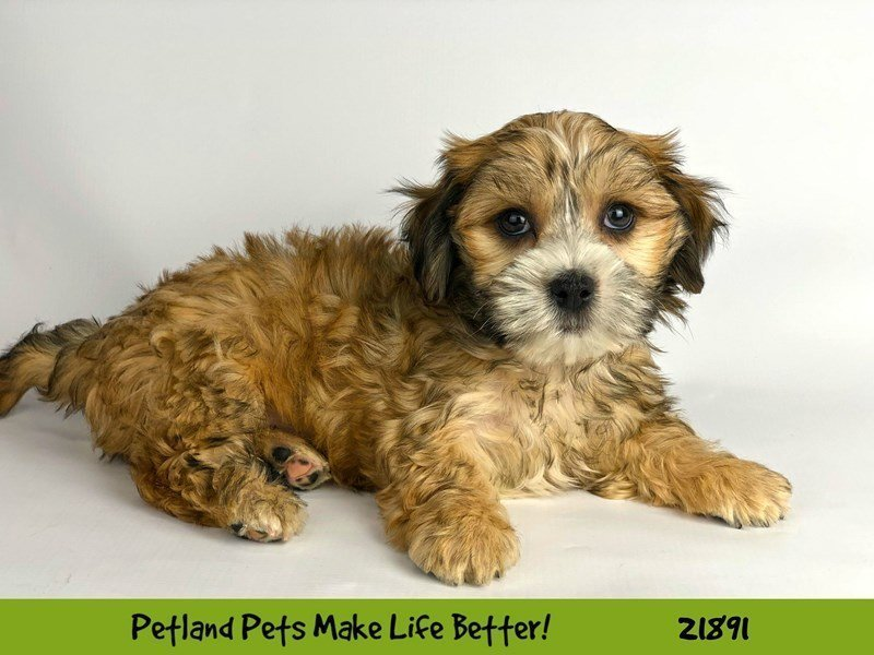 Morkie-DOG-Male-Sable/Wht-2304180-Petland Naperville