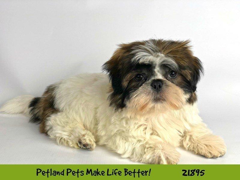 Shih Tzu-DOG-Male-Gold / White-2304074-Petland Naperville