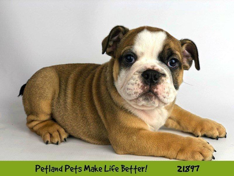 English Bulldog-DOG-Male-Sable / White-2304377-Petland Naperville