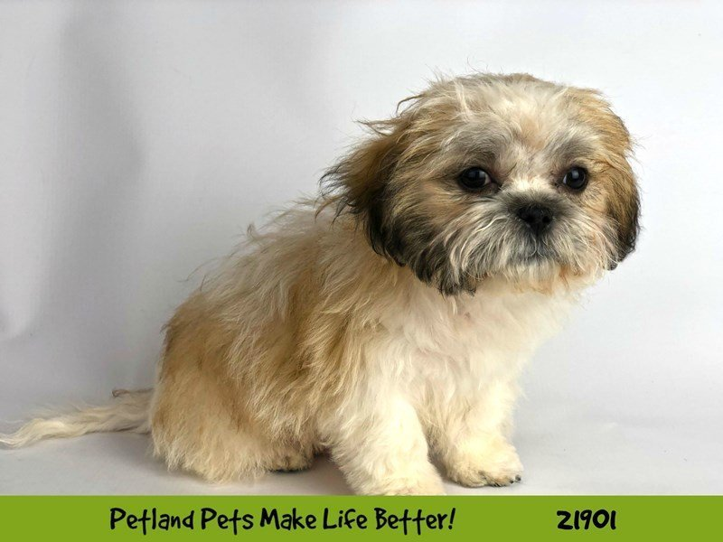 Shih Tzu-DOG-Male-Gold / White-2304104-Petland Naperville