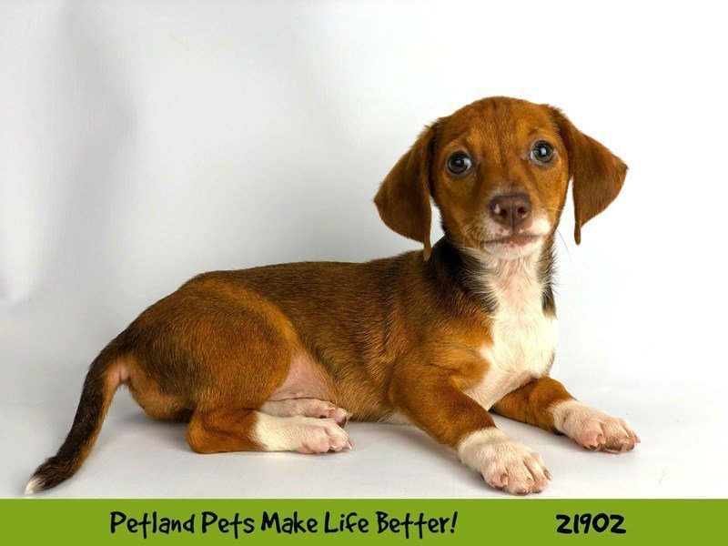 Chiweenie-Female-Red Sable-2304130-Petland Naperville