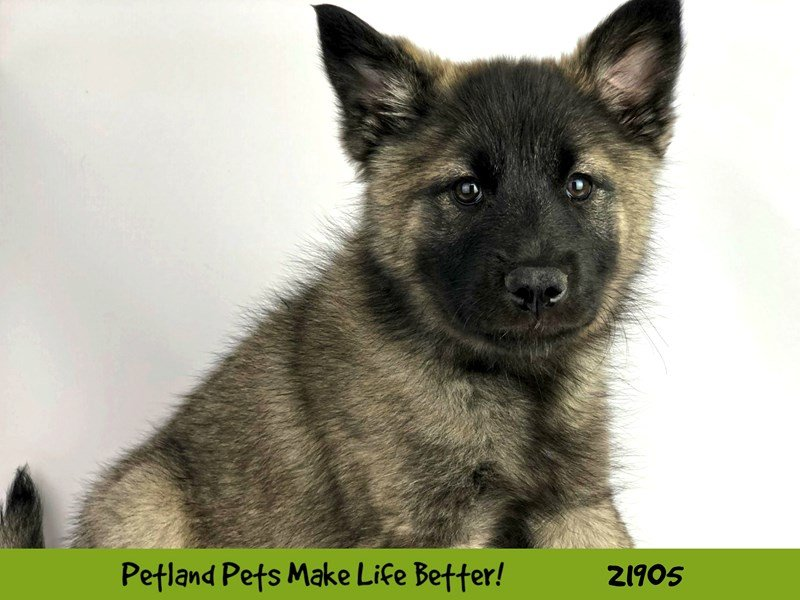 Norwegian Elkhound-Female-Gray Black / Silver-2304079-Petland Naperville
