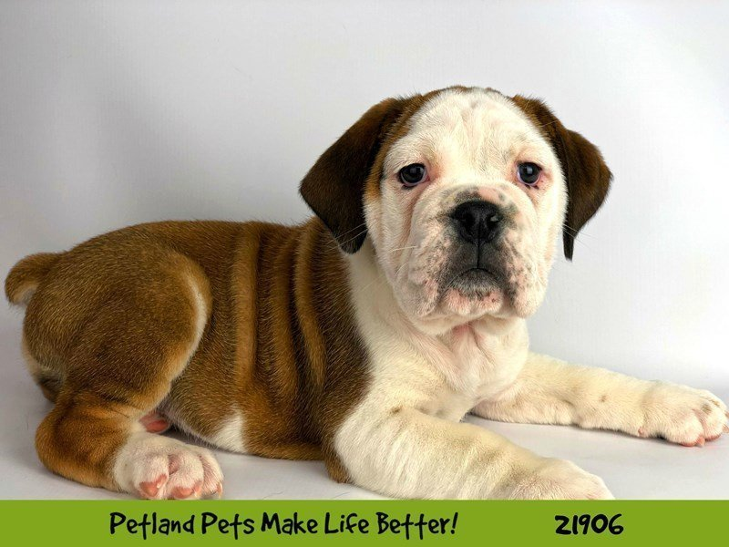 Beabull Bulldog-DOG-Male-Red / White-2304076-Petland Naperville