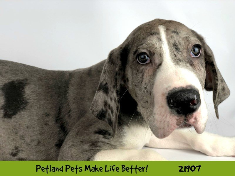 Great Dane-DOG-Male-Merle-2304077-Petland Naperville