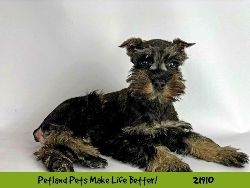 Miniature Schnauzer-Female-Salt / Pepper-2304078-Petland Naperville