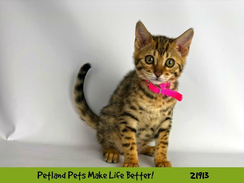 Bengal-Female-Brown / Black-2304103-Petland Naperville