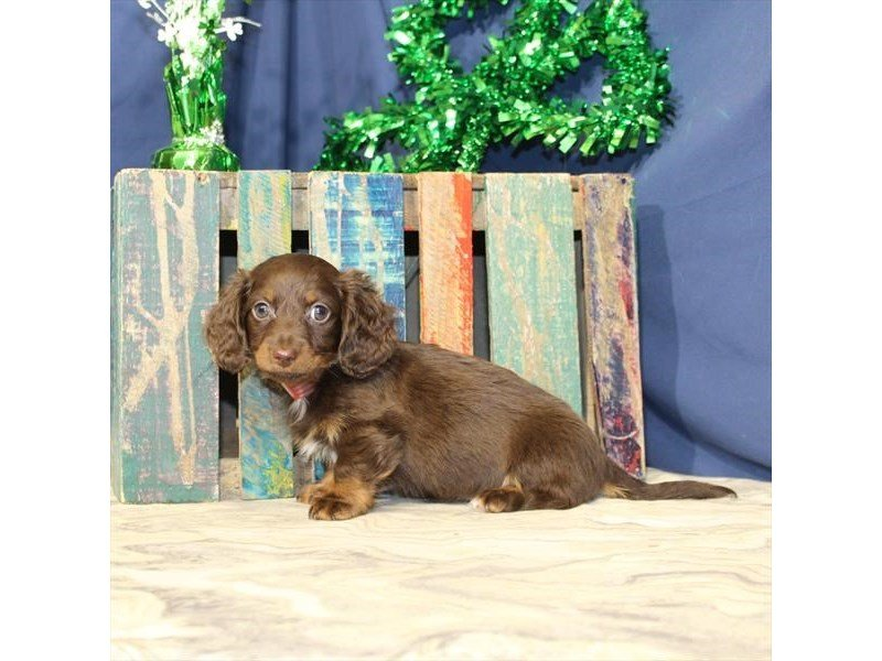 Dachshund-Female-Chocolate / Tan-2309565-Petland Naperville