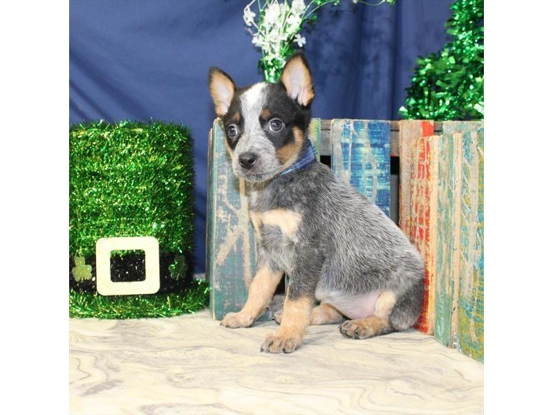 Australian Cattle Dog-Female-Blue-2309570-Petland Naperville