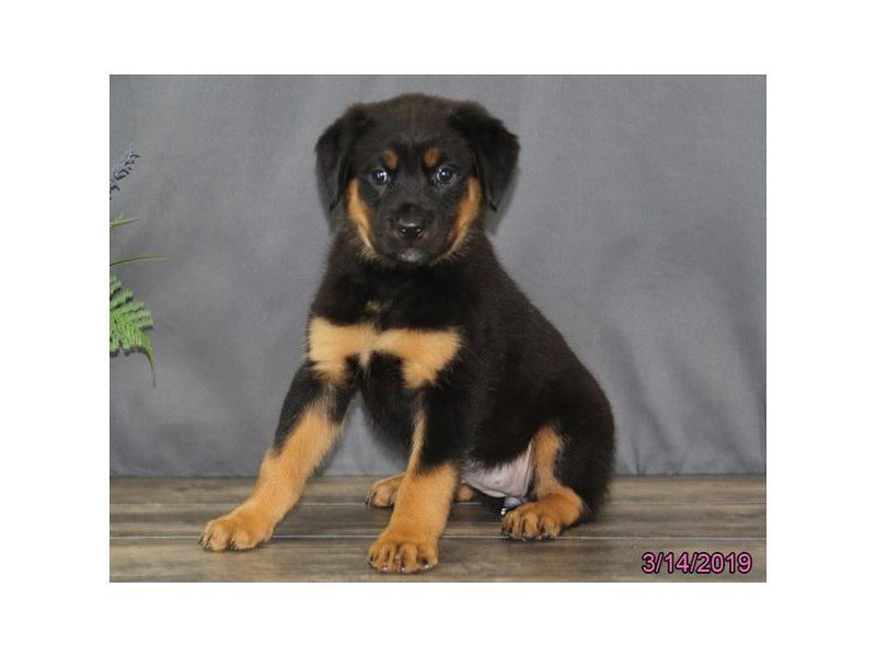 Rottweiler-DOG-Female-Black / Tan-2309571-Petland Naperville