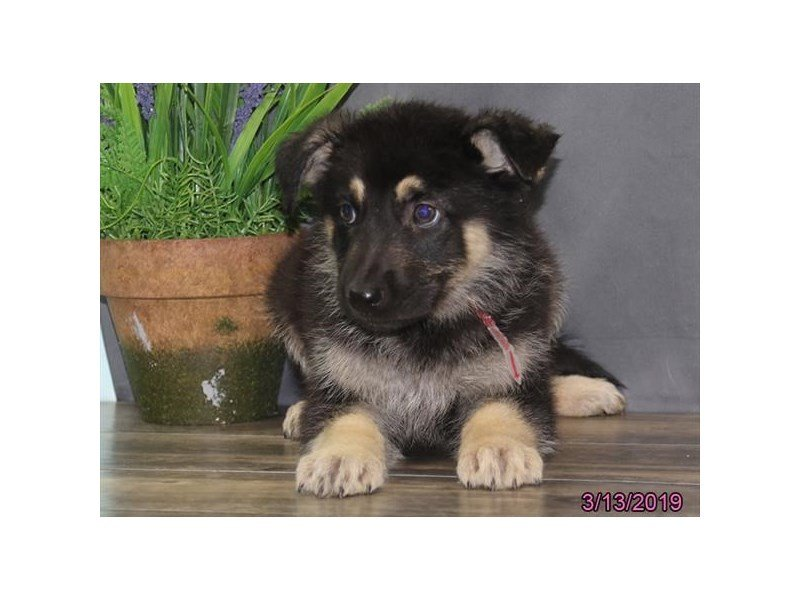 German Shepherd Dog-Female-Black / Tan-2309572-Petland Naperville