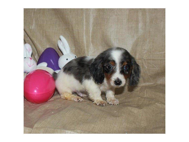 Dachshund-DOG-Male-Black / Tan-2310309-Petland Naperville