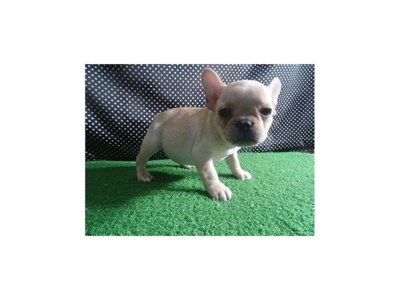 French Bulldog-DOG-Female-Cream-2310310-Petland Naperville