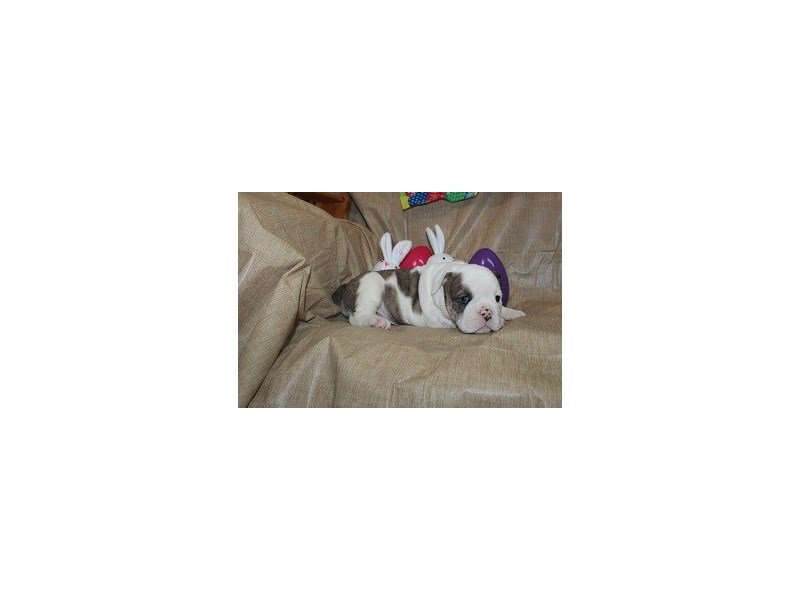 Bulldog-Female-Brdl/Wht-2310314-Petland Naperville