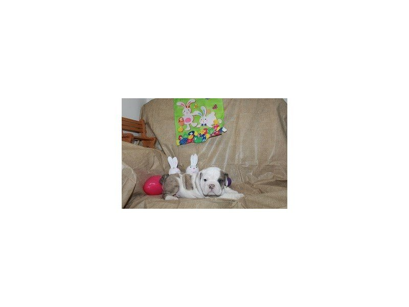 English Bulldog-DOG-Male-Brdl/Wht-2310315-Petland Naperville