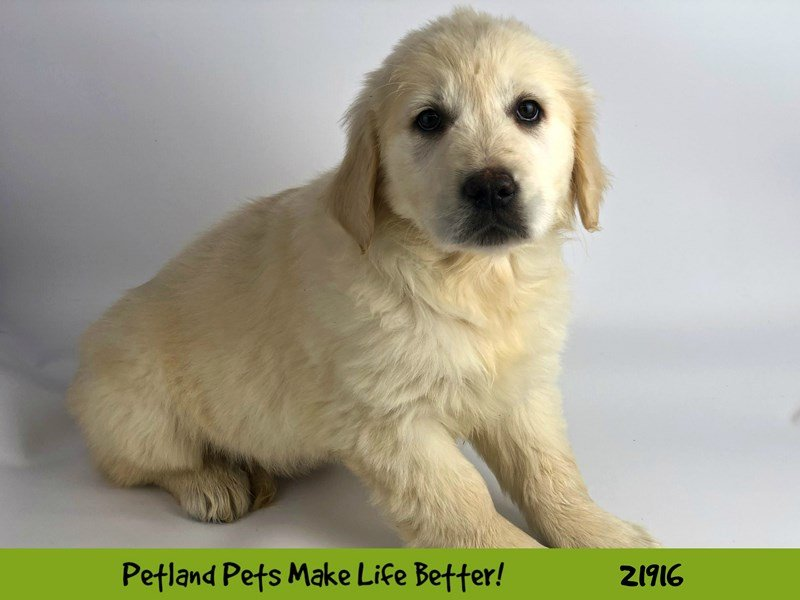 English Cream Golden Retriever-Female-Cream-2309606-Petland Naperville