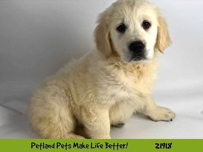 English Cream Golden Retriever-DOG-Male-Cream-2309667-Petland Naperville