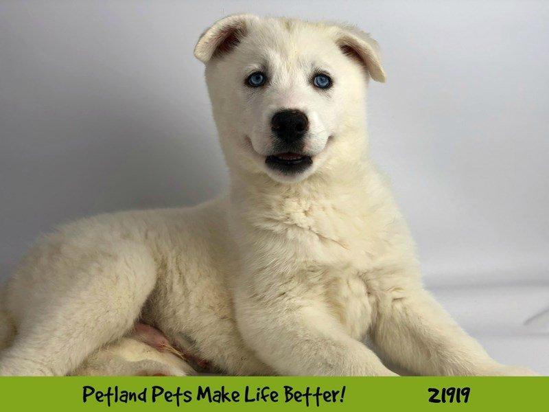 Siberian Husky-DOG-Male-White-2309584-Petland Naperville