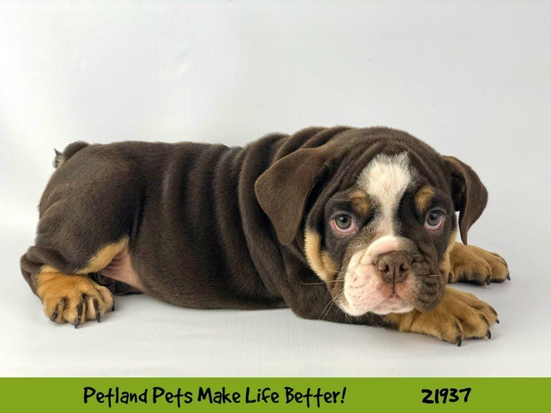 English Bulldog-DOG-Male-Choc Tri-2315148-Petland Naperville
