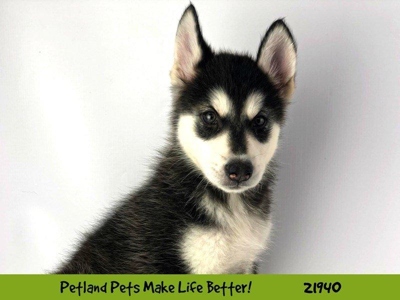 Alaskan Malamute-DOG-Female-Blk/Wht-2315293-Petland Naperville