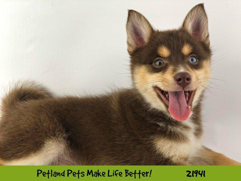 Pomsky-DOG-Female-Choc/Tri-2315326-Petland Naperville