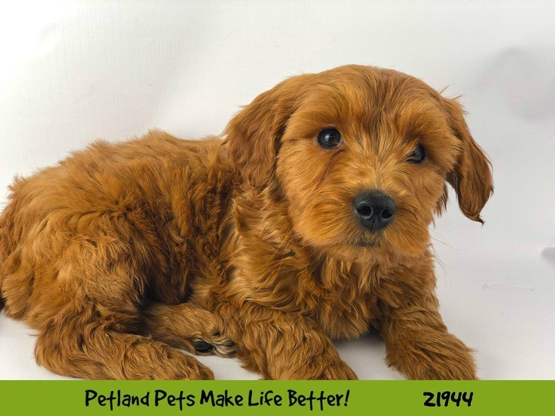 F1B Mini Goldendoodle-DOG-Male-Red-2315505-Petland Naperville