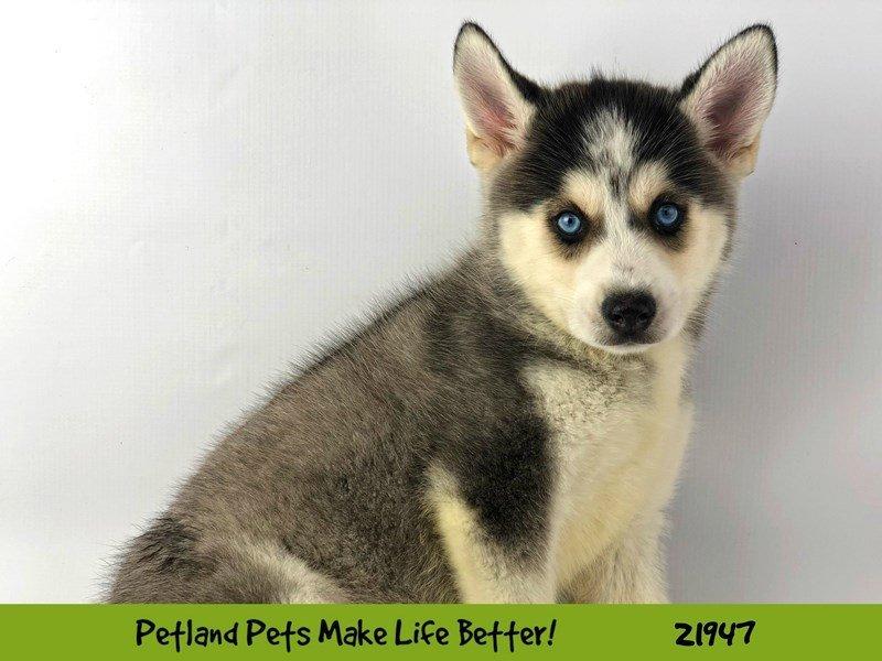 Pomsky-DOG-Male-Blk/Wht-2315688-Petland Naperville