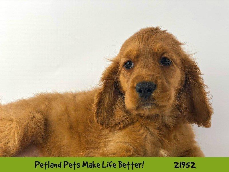 Comfort Golden-DOG-Male-Dark Golden-2315877-Petland Naperville