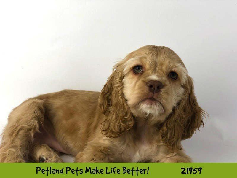 Cocker Spaniel-Female-Golden-2315141-Petland Naperville
