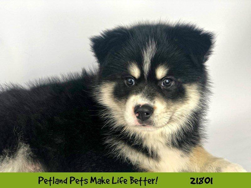 Pomsky-DOG-Male-Blk/Wht-2276905-Petland Naperville