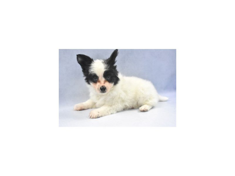 Papillon-Male-White and Black-2286736-Petland Naperville