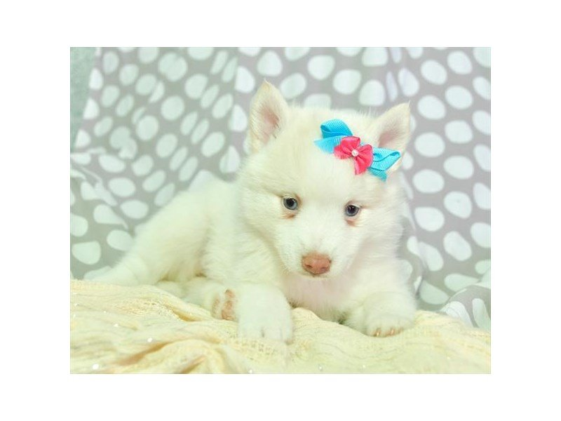 Pomsky-DOG-Female-White-2287687-Petland Naperville