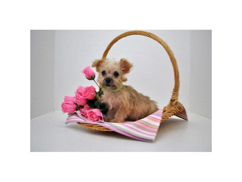 Yochon-DOG-Female-Gold-2287718-Petland Naperville