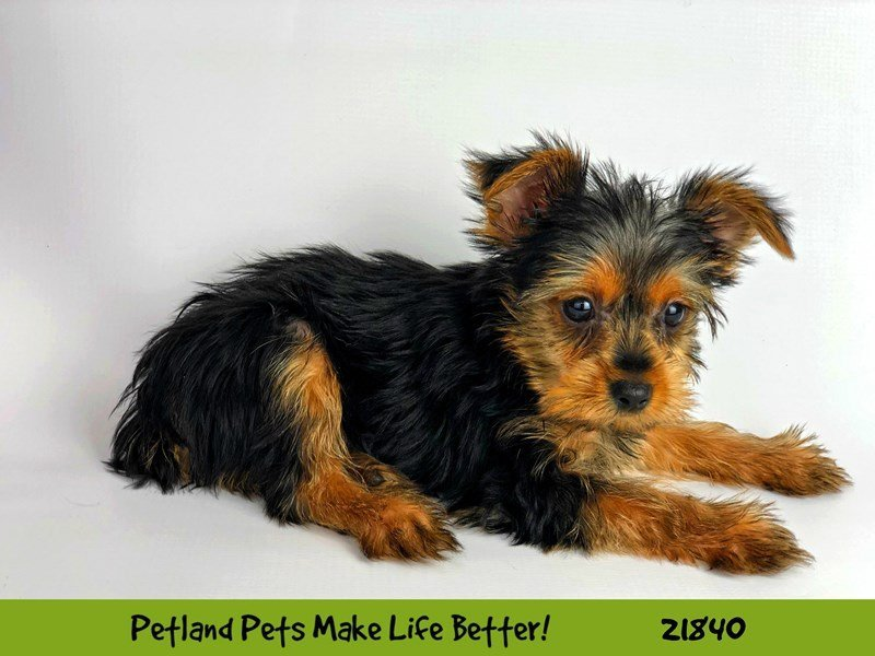 Yorkshire Terrier-DOG-Male-Black / Tan-2287692-Petland Naperville