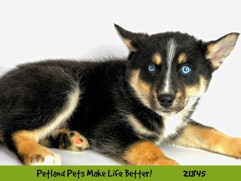 Pomsky-DOG-Male-Black Tri-2288030-Petland Naperville