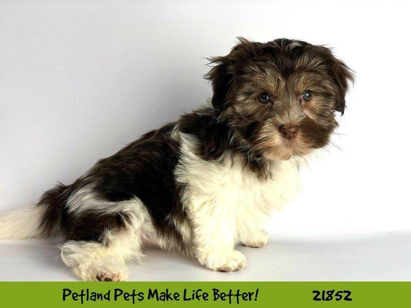 Havanese-DOG-Female-Choc/Wht-2288129-Petland Naperville