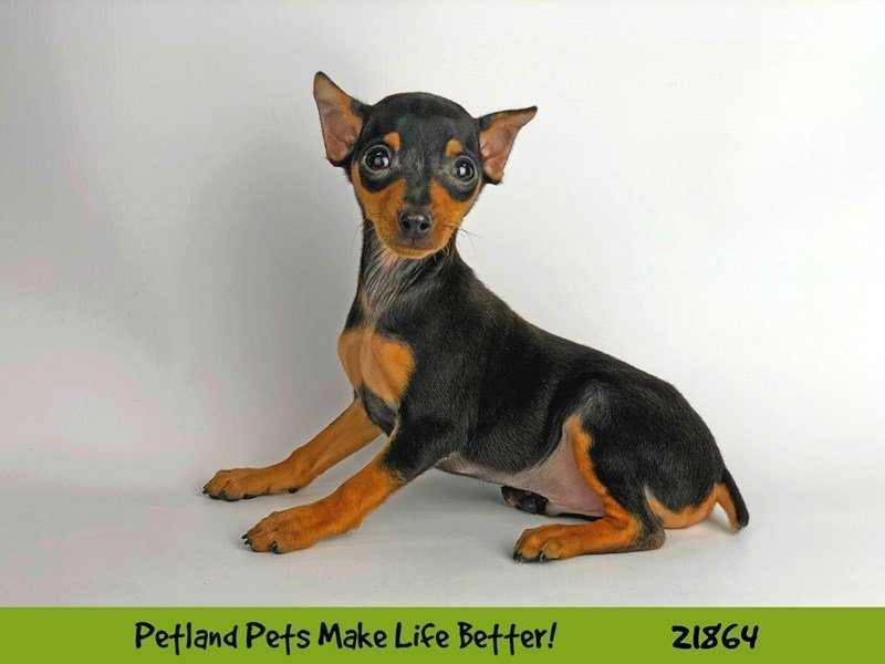 Miniature Pinscher-DOG-Male-Black and Rust-2292425-Petland Naperville