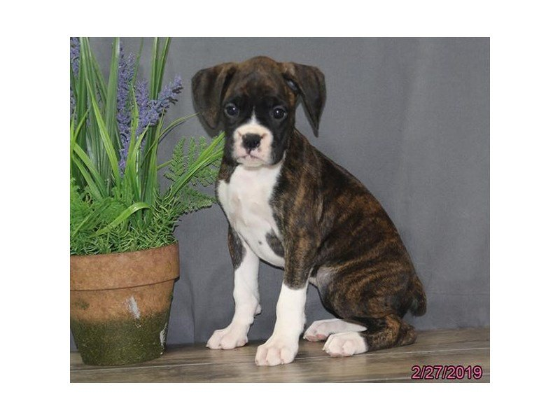 Boxer-DOG-Female-Brindle-2298266-Petland Naperville