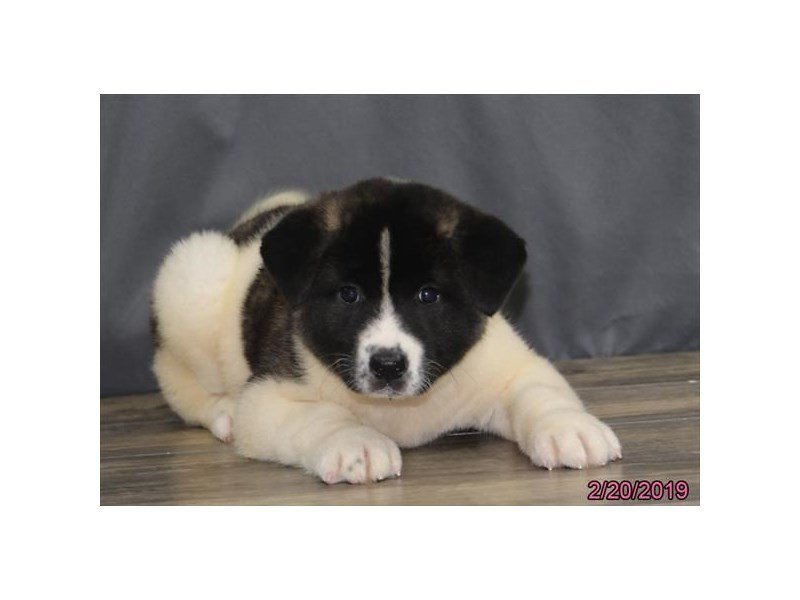 Akita-Female-Fawn Brindle-2298267-Petland Naperville