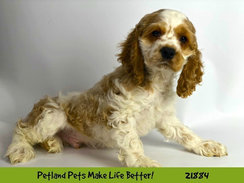 Cocker Spaniel-Male-Buff/Wht-2298628-Petland Naperville