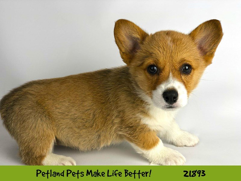 Pembroke Welsh Corgi-DOG-Female-Red / White-2304106-Petland Naperville