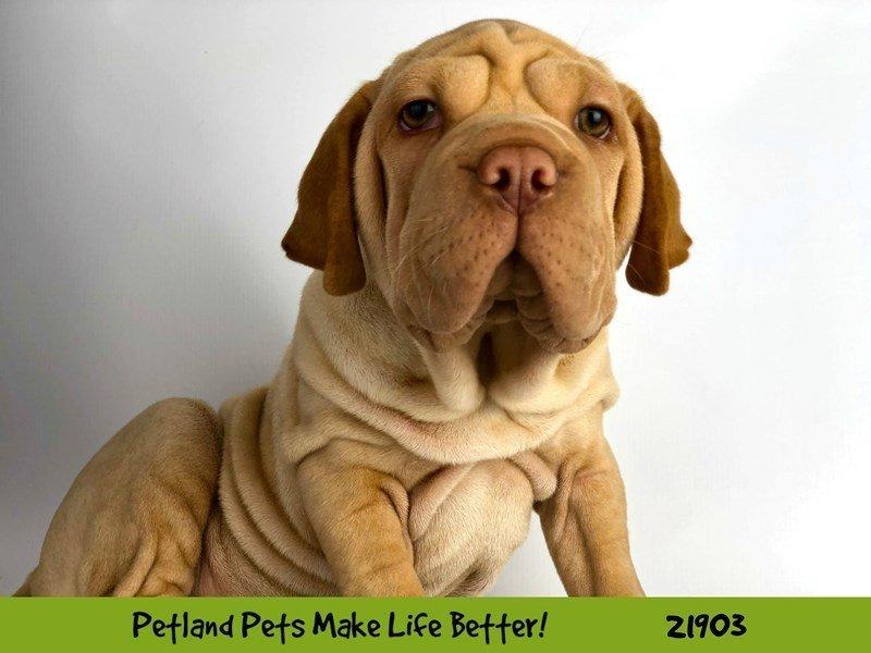 Walrus-DOG-Female-Fawn-2304137-Petland Naperville
