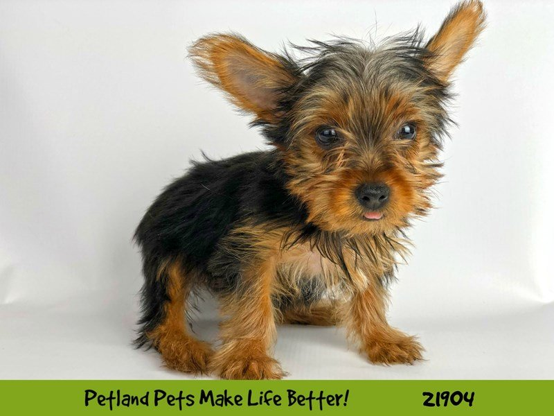 Yorkshire Terrier-DOG-Female-Black / Tan-2304112-Petland Naperville